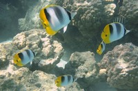 Chaetodon ulietensis, Pacific double-saddle butterflyfish: fisheries, aquarium