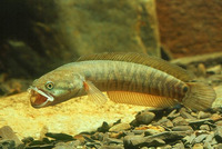 Channa asiatica, Small snakehead:
