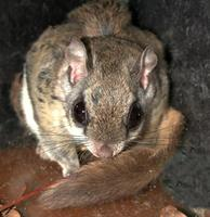 Image of: Glaucomys sabrinus (northern flying squirrel)