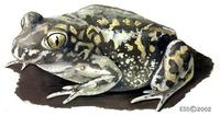 Image of: Scaphiopus couchii (Couch's spadefoot toad)