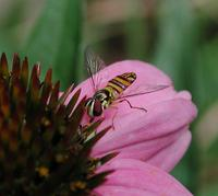 Image of: Syrphidae (flower flies and syrphid flies)
