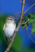 Image of: Vireo olivaceus (red-eyed vireo)