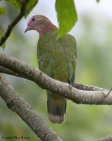 Pink-headed Fruit Dove - Ptilinopus porphyreus