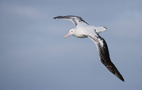 Wandering Albatross (Diomedea exulans) photo
