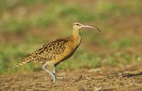 Bristle-thighed Curlew (Numenius tahitiensis) photo