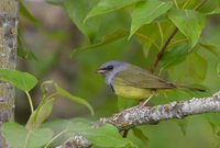 Mourning Warbler (Oporornis philadelphia) photo