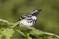 Dot-backed Antbird - Hylophylax punctulata