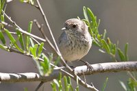 Inland Thornbill - Acanthiza apicalis
