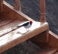 Yellow-billed Cardinal - Paroaria capitata