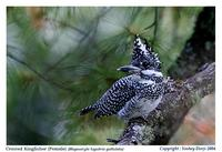 ...Pied Crested Kingfisher (Megaceryle lugubris) is a widespread    resident in Himalayas, north-ea