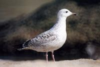 노랑발갈매기 Yellow-leged Gull Larus  cachinans