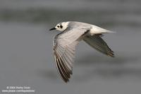 White-winged Tern (Immature)