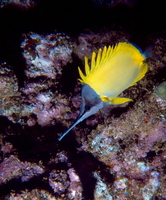 : Forcipiger longirostris; Long-nosed Butterflyfish