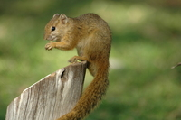 : Paraxerus cepapi; Tree Squirrel