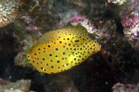 Ostracion cubicus, Yellow boxfish: fisheries, aquarium