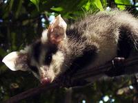 Image of: Didelphis albiventris (white-eared opossum)