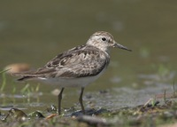 Calidris temminckii - Temminck's Stint