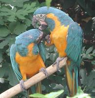Image of: Ara glaucogularis (blue-throated macaw)