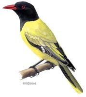 Image of: Oriolus larvatus (African black-headed oriole)