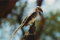 Image of: Tockus erythrorhynchus (red-billed hornbill)