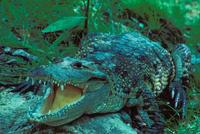 Image of: Crocodylus moreletii (Morelet's crocodile)