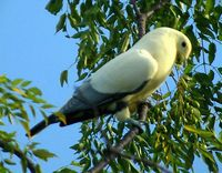Silver-tipped Imperial Pigeon - Ducula luctuosa