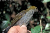 Long-billed Spiderhunter - Arachnothera robusta