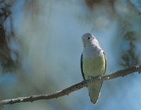 Grey-headed Lovebird (Agapornis canus) photo