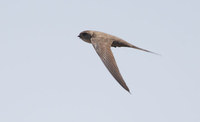 African Palm Swift (Cypsiurus parvus) photo