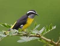 Bananaquit (Coereba flaveola) photo