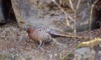 Copper Pheasant (Syrmaticus soemmerringii) photo