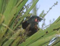 Saddleback (Creadion carunculatus) photo