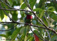 Claret-breasted Fruit-Dove - Ptilinopus viridis