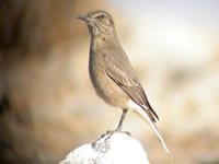 Black-billed Shrike-Tyrant - Agriornis montana
