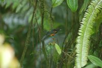 Martinique Oriole - Icterus bonana