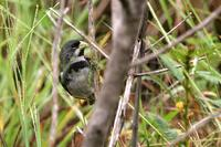 Double-collared  seed-eater   -   Sporophila  caerulescens   -