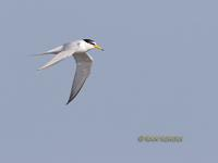 Little tern C20D 02818.jpg