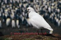...FT0161-00: Black-faced Sheathbill, Chionis minor, in front of a King Penguin Colony. Kerguelen I
