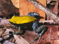 : Mantella expectata; Blue-legged Mantella