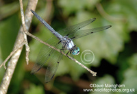 : Libellula vibrans; Great Blue Skimmer Dragonfly