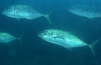 Carangoides fulvoguttatus, Yellowspotted trevally: fisheries, gamefish