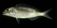 Nemipterus peronii, Notchedfin threadfin bream: fisheries