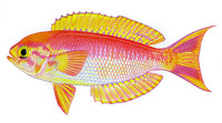 Callanthias australis, Magnificent splendid perch: