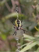 Image of: Argiope aurantia (black-and-yellow argiope)