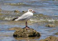Image of: Larus cirrocephalus (grey-hooded gull)