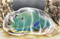 Image of: Scaridae (parrotfishes)