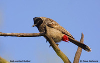 Red-vented Bulbul - Pycnonotus cafer