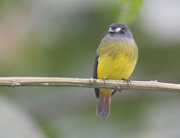 Ornate Flycatcher (Myiotriccus ornatus) photo