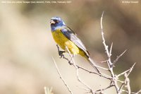 Blue-and-yellow Tanager - Thraupis bonariensis