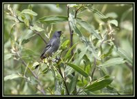 Band-tailed Seedeater - Catamenia analis